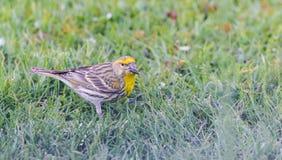 M?nnlicher mit dem Kopfe sto?ender Vogel auf Rasen mit schwarzem Samen im Schnabel stockfotografie