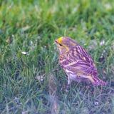M?nnlicher mit dem Kopfe sto?ender Vogel auf Rasen mit schwarzem Samen im Schnabel stockbilder