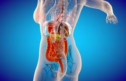 m?nskligt manligt digestivkexsystem f?r r?ntgenstr?le 3D stock illustrationer