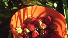 A m?o escolhe uma morango vermelha de um arbusto e p?e-na em uma cubeta um fazendeiro colhe uma baga madura a m?o do jardineiro video estoque