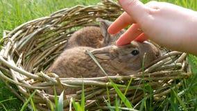 A m?o f?mea afaga delicadamente os coelhos um macios bonitos semanais pequenos rec?m-nascidos em uma cesta de vime na grama verde filme