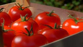A m?o p?e o tomate suculento maduro em uma caixa de madeira video estoque