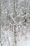 Młoda brzoza w lesie Zdjęcia Stock
