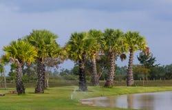 Młoda cukrowa drzewka palmowego toddy palma Obrazy Stock