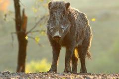 Młoda dzikiego knura samiec Zdjęcia Stock