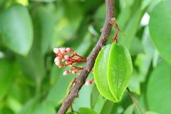 Młoda gwiazdowa owoc lub Carambola owoc Zdjęcie Royalty Free