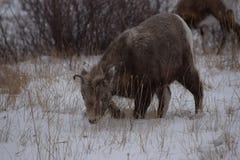 Młoda kózka, Jaspisowy park narodowy Zdjęcie Stock