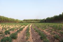 Młoda kasaw tapiok pola plantacja Obrazy Stock