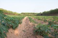 Młoda kasaw tapiok pola plantacja Zdjęcie Stock
