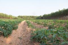 Młoda kasaw tapiok pola plantacja Zdjęcia Stock