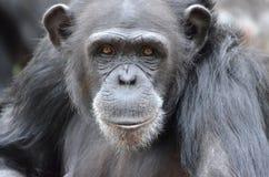 Młoda kobieta chimp2 Fotografia Stock