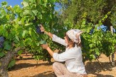 Młoda kobieta, winogradu hodowca w winnicy, Obraz Royalty Free