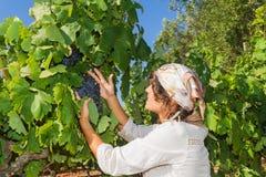 Młoda kobieta, winogradu hodowca w winnicy, Obrazy Stock
