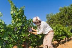 Młoda kobieta, winogradu hodowca w winnicy, Obrazy Royalty Free