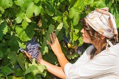 Młoda kobieta, winogradu hodowca w winnicy, Zdjęcia Stock
