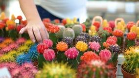 Młoda kobieta wybiera kaktusy w kwiatu sklepie zbiory