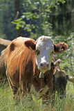 Młoda krowa Zdjęcie Royalty Free