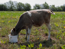 Młoda krowa Obrazy Stock
