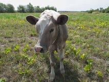 Młoda krowa Zdjęcia Stock