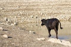 Młoda krowa Zdjęcie Stock