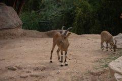 M?oda Nubijska kozioro?ec pozycja w pustynnym piaska capra nubiana fotografia royalty free