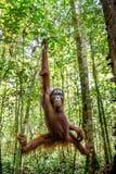 Młoda samiec Bornean Orangutan na drzewie w naturalnym siedlisku Bornean orangutan Pongo pygmaeus wurmbii w dzikiej naturze Obrazy Royalty Free