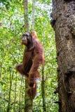 Młoda samiec Bornean Orangutan na drzewie w naturalnym siedlisku Bornean orangutan Pongo pygmaeus wurmbii w dzikiej naturze Obraz Royalty Free