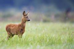 Młoda sarna w dzikim Obraz Stock