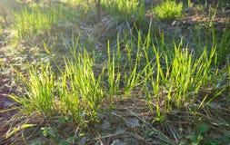 Młoda trawa w lesie fotografia stock