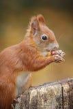 Młoda wiewiórka Fotografia Royalty Free