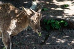 M?oda wschodnia caucasian tur samiec na kamieniu ?aciny imi? - Capra cylindricornis zdjęcie stock