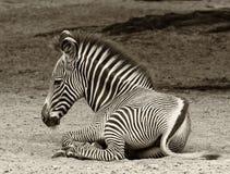 Młoda zebra przy odpoczynkiem Obraz Stock
