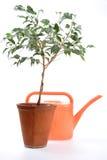 młode drzewo cieplarniany do domu Zdjęcia Royalty Free