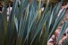 Młode flance daffodils w parku zdjęcia royalty free