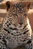 młode jaguara Fotografia Stock