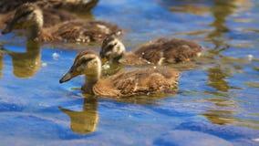 Młode kaczki Obraz Royalty Free