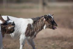 młode kozy Obrazy Royalty Free