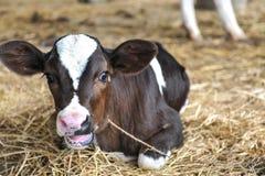 Młode krowy Fotografia Royalty Free
