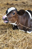 Młode krowy Obrazy Royalty Free