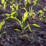 Młode kukurydzane rozsady Fotografia Stock