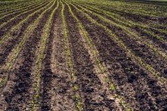 Młode kukurydzane upraw bruzdy Obrazy Royalty Free