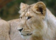 młode lwy Zdjęcia Royalty Free