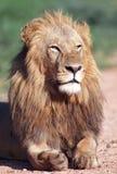 młode lwy Obraz Royalty Free