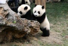 młode panda Zdjęcia Stock