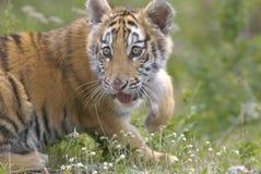 młode siberian tygrys Fotografia Royalty Free