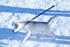 Młodego szczeniaka Syberyjski husky Obraz Royalty Free
