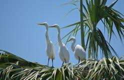 3 Młodego Wielkiego Egrets Obrazy Royalty Free