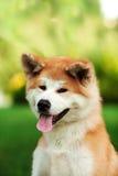 Młody Akita inu pies outdoors na zielonej trawie Zdjęcia Royalty Free
