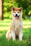 Młody Akita inu pies siedzi outdoors na zielonej trawie Zdjęcia Royalty Free