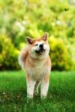 Młody Akita inu pies siedzi outdoors na zielonej trawie Obraz Stock